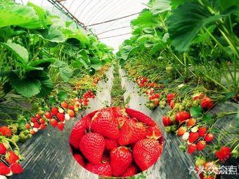 天府绿康农场草莓采摘